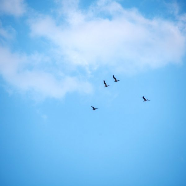 Group of four birds flying